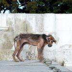 El eslabón perdido en la cadena de protección animal en Cuba