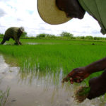 La política está también en la libra de arroz