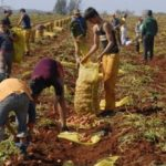 La Papa: Una ojeada agroeconómica